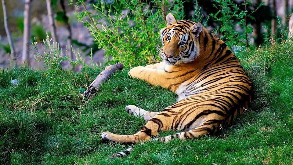 Tigre mirando a la cámara en el Parque Nacional de Chitwan