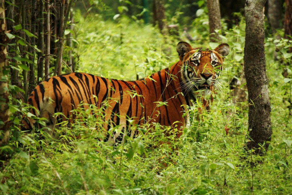 Tigre observando en el Parque Nacional de Chitwan en Nepal