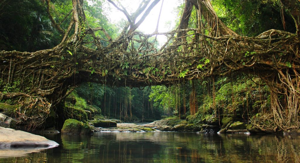 Bridge of living roots in the state of Meghalaya India