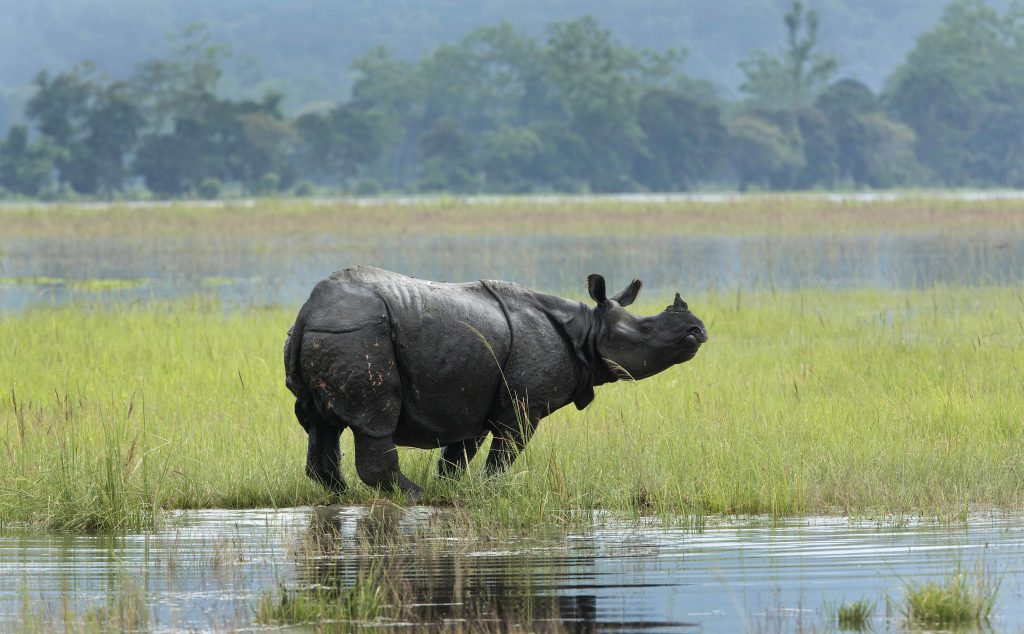 Rhinoceros in one of the Kaziranga wetlands in Assam