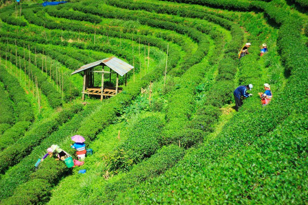 Trabajadores en las plantaciones de te de Assam