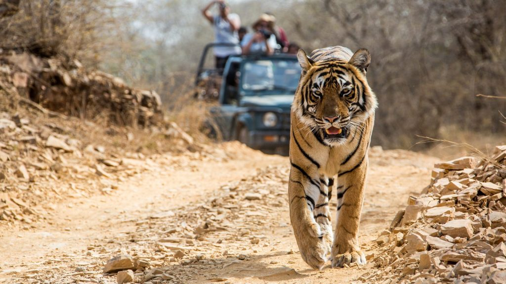 Tiger walking through India national park