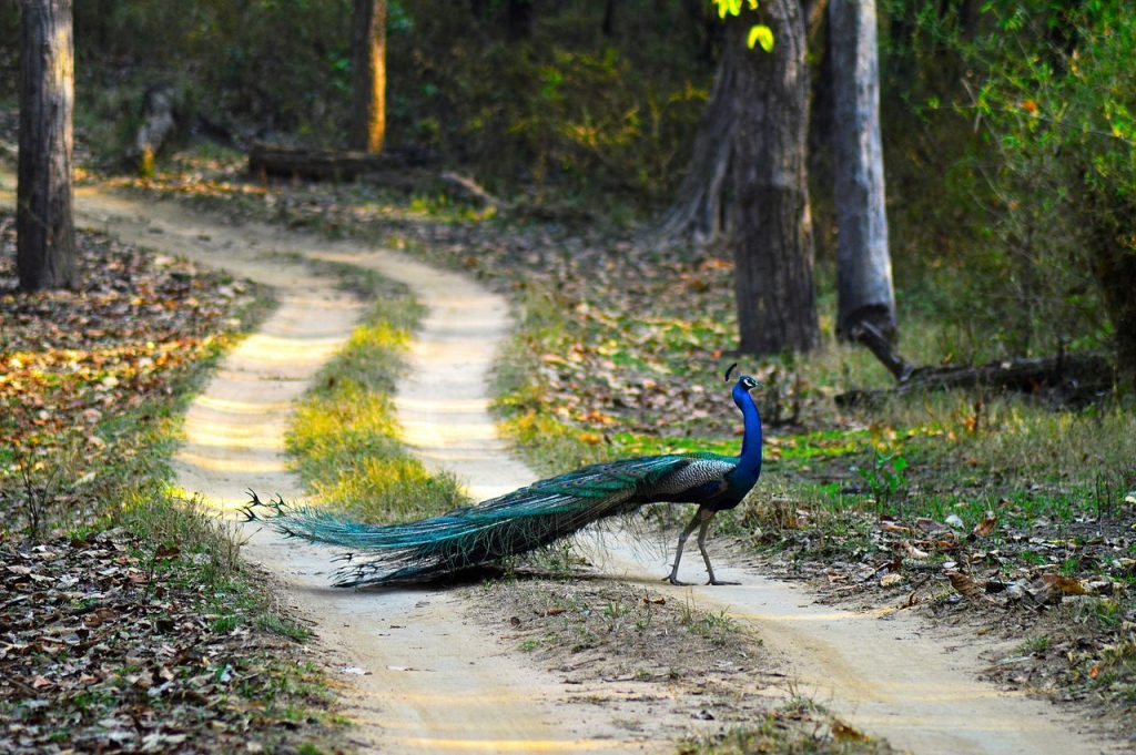 Peacock walking through the jungle of the Tadoba National Park