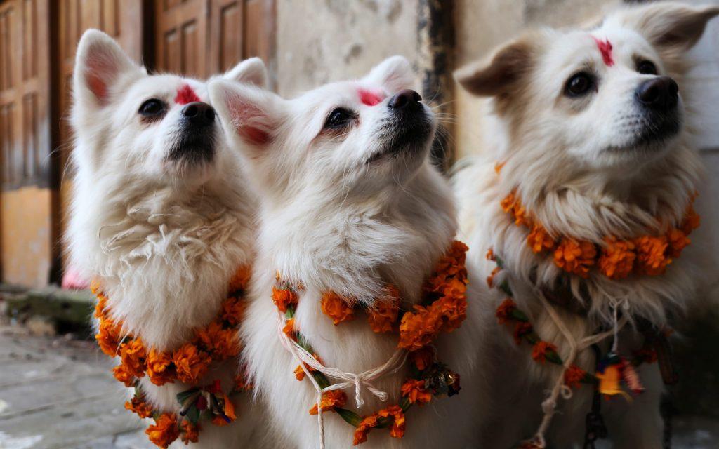 Perros en el festival Tihar de Nepal