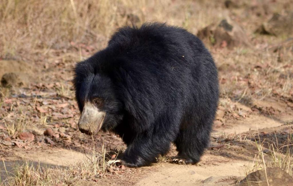 Lazy Bear, one of the most famous species of the Satpura Reserve