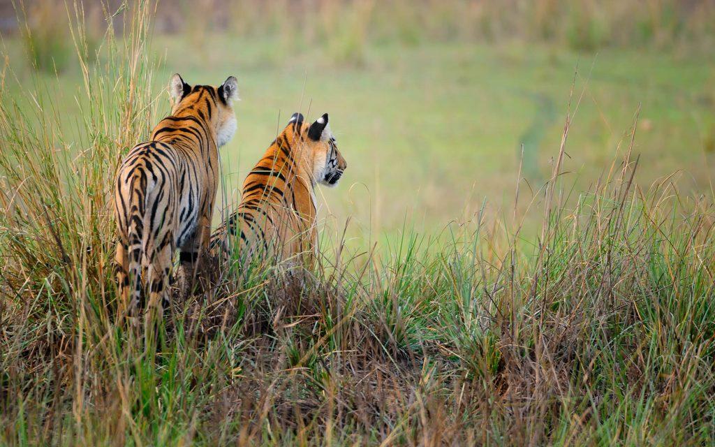 Dos tigres frente a una llanura de India