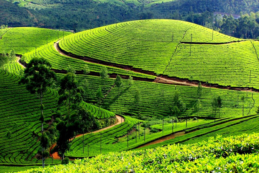 Munnar tea fields and best views