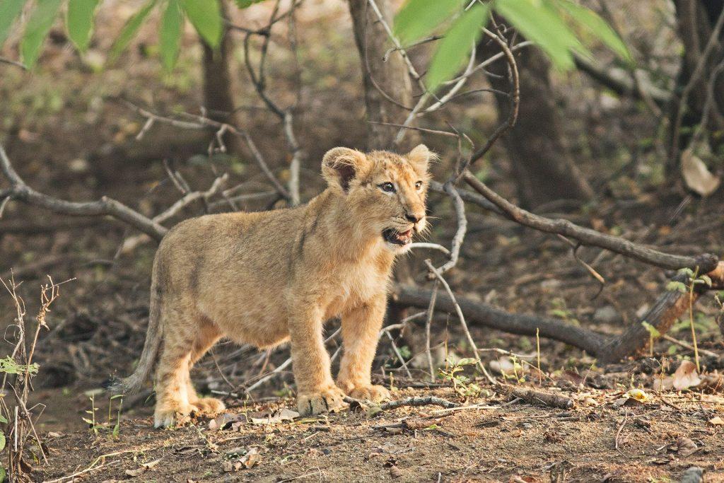 Un ejemplar de cachorro de león asiático en India