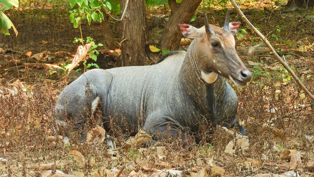 Nilgai deer in Gujarat India