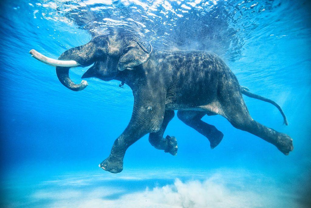 Elefante Rajam de Andamán nadando