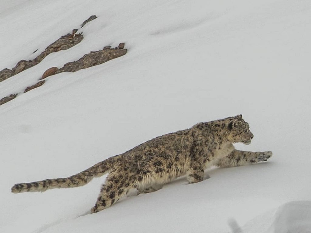 Snow Leopard in Pin Valley National Park