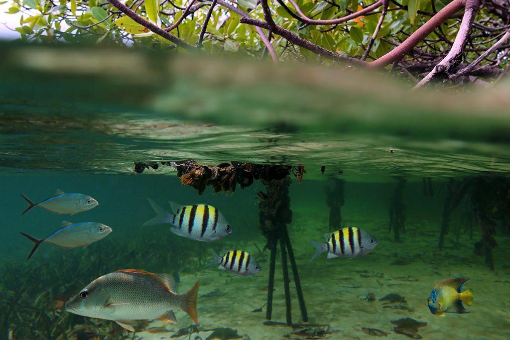 Peces tropicales en los manglares de Neil Island