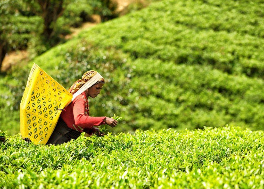 Mujer recogiendo hojas de té en Ohiya.