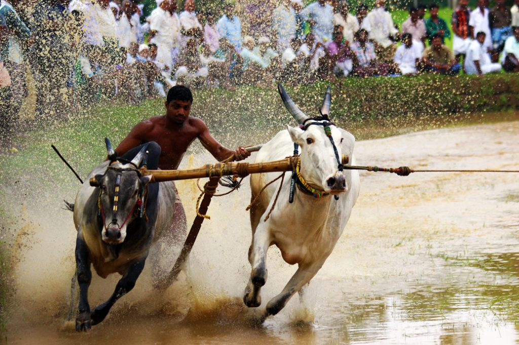 Bull surfing in Kerala