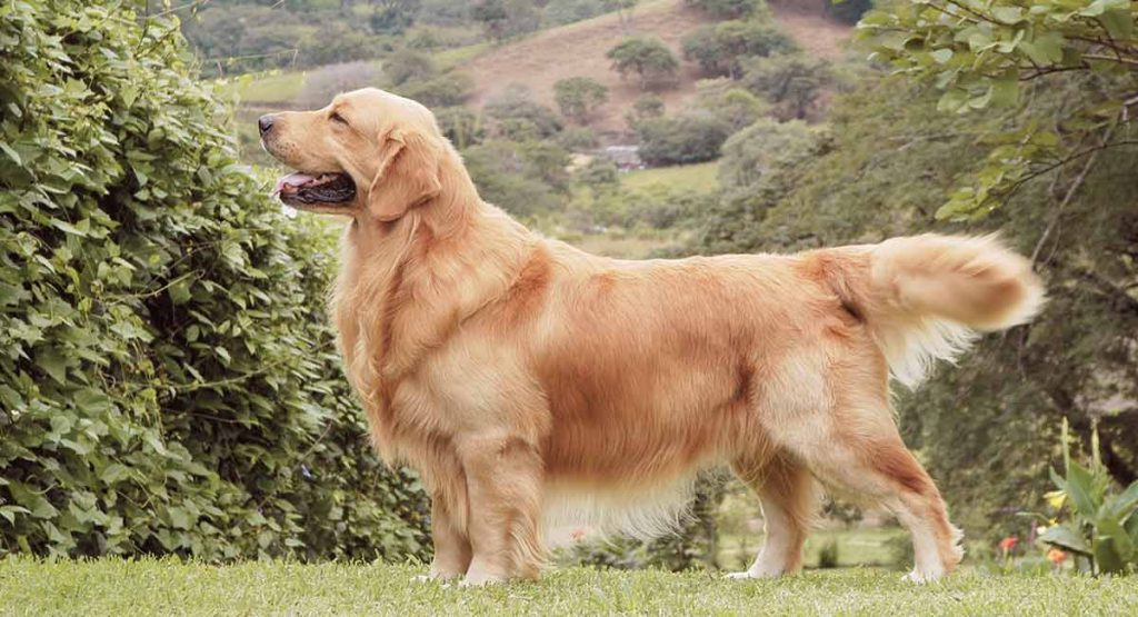 Perrita Golden Retriever Casey