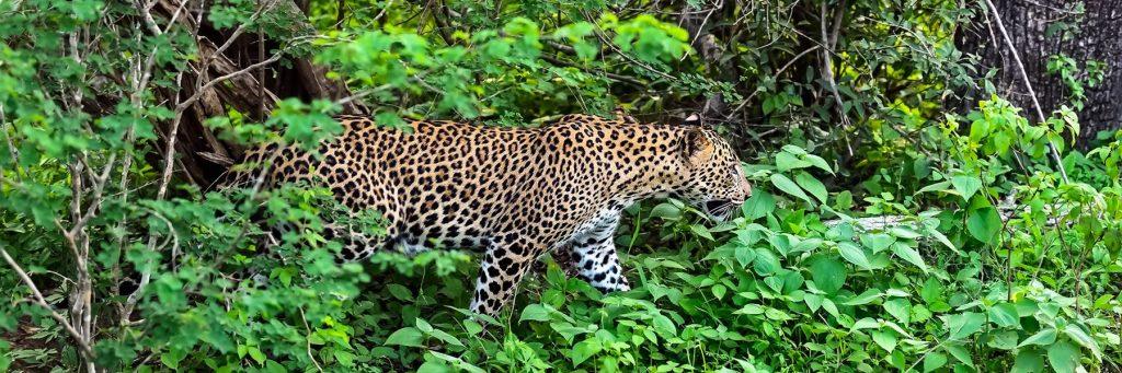 Leopardo en Sri Lanka