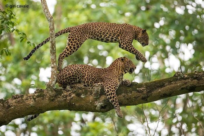 Leopardos en Sri Lanka