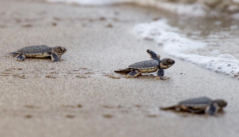 Tortugas intentando llegar al mar