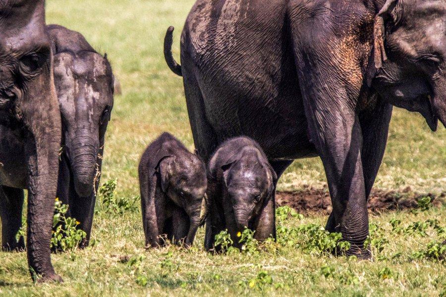 Elefantes gemelos en Sri Lanka