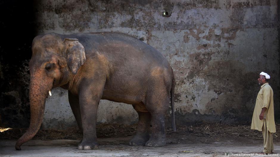Elefante Kaavan